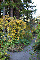 Hedge maple - Acer campstre under tall redwood trees along path in Gary Ratway garden