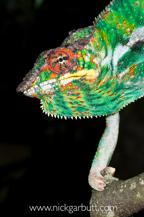 Male Panther Chameleon (Furcifer pardalis) in aggresive posture / threat display. From Masoala National Park, north east Madagascar.