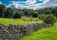 Dairy cattle, Carnforth, Lancashire,UK.