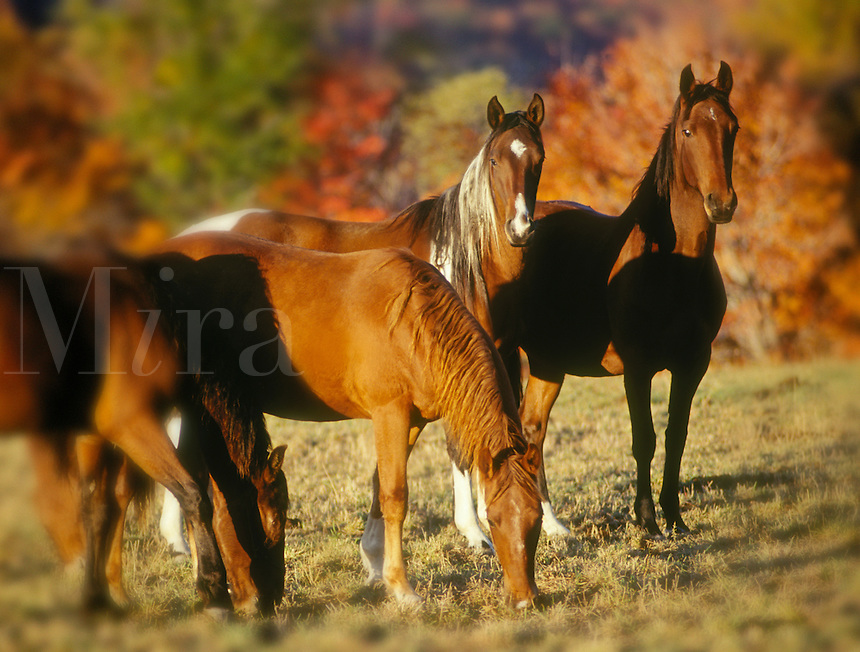 Mixed herd of mares with fall foiliage as backdrop.