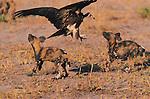 Hooded Vulture, Wild Dog, Lycaon pictus, Kwando, Botswana