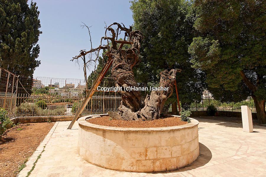 Judea, Abraham´s Oak (Kermes Oak) at the Russian Orthodox Church in Hebron. .