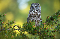 Great Gray Owl (Strix nebulosa). Deschutes County, Oregon.