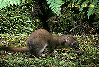 MA28-077z  Short-Tailed Weasel - ermine in forest in brown summer coat - Mustela erminea .