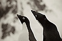 Courting Adélie penguins on Peterman Island, Antarctica. (Pygoscelis adeliae)