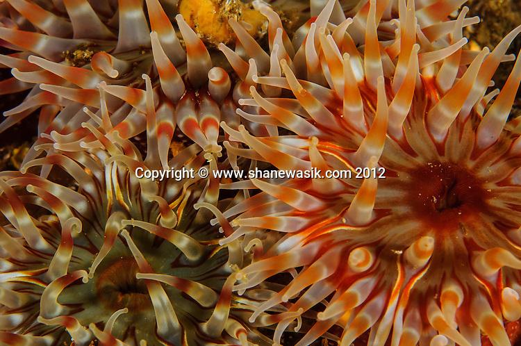 Colourful Dahlia Anemones