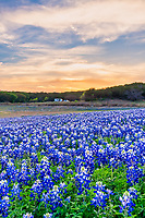 Bluebonnets at the Park Vertical - The Texas hill country dry river bed came back to life again after the waters went down along the colorado river this year and this field of bluebonnets was a site to see.  We capture this wonderful field of wildflowers just as the sunset over the trees tops with enough light left for the the flowers vertical.   Spring time in the Texas hill country can be magical when fields of wildflowers appear in great numbers.  We live not far from here so we came here several times till word got out and the bluebonnet got trampled down. The texas hill country has been one of the best places to capture pictures of bluebonnets landscapes in the past and we can only hope forever. Taking pictures of bluebonnets is one of our favorite things to capture. There are many varieties of bluebonnets in Texas from the chiso bluebonnet, to the sandyland and of course the Lupinus texensis lupine,  has been the state flower since the 1901 and all other bluebonnets were included in 1971 by the Texas Legislature which made all lupines in the state the state flower.  For most the most popular is the Lupinus texensis or texas bluebonnet which are here in the hill country which are known for the white top which is said to look like a woman bonnet. Women use to work the fields with white bonnets on their heads to protect themself from the sun. <br /> <br /> Buy Photos by BeeCreekPhotography, Fine Art,  Buy Art Online. Wall Art. Bluebonnet Landscapes, Flowers and more...