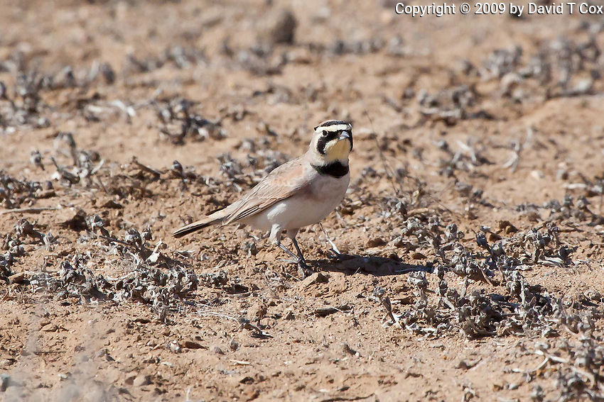 Horned Lark, Valle de los Cirios, Baja, Mexico