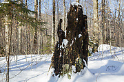 Franconia Notch - Forest in the area known as Hardwood Ridge in Lincoln, New Hampshire USA during the winter months.