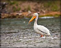 American White Pelican sitting in the Yellowstone River