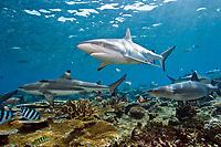 three shark species, A Grey Reef, Carcharhinus amblyrhynchos, Blacktip Reef, Carcharhinus melanopterus, and Whitetip Reef Shark, Triaenodon obesus, swim in the shallows of Shark Reef, a marine protected zone in Beqa Lagoon, Pacific Ocean Harbor, Viti Levu, Fiji, South Pacific Ocean