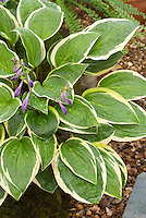Hosta 'Rise and Shine'