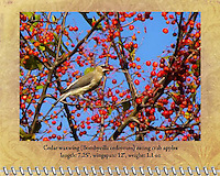 """October of the 2012 Birds of a Feather Calendar.  This photo is called """"Cedar Waxwing in crab apples"""" and shows a cedar waxwing (Bombycilla cedrorum) has a crab apple in its mouth in the middle of a crab apple tree in Fall loaded with red fruit with a blue sky background in New England."""