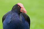 Pukeko (Porphyrio porphyrio), Nga Manu Nature Reserve, North Island, New Zealand