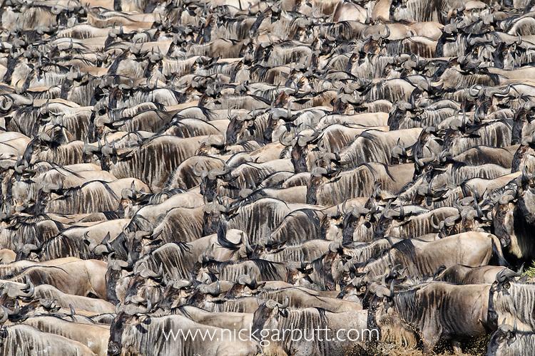 Herds of white-bearded wildebeest (Connochaetes taurinus albojubatus) waiting to cross the Mara River. Northern Serengeti, Serengeti National Park, Tanzania (early September).