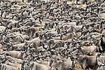 Herds of white-bearded wildebeest (Connochaetes taurinus albojubatus) waiting to cross the Mara River. Northern Serengeti, Serengeti National Park, Tanzania (early September).