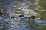 Common loons feeding chicks