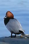 Canvasback duck, Ile de la Camargue, France