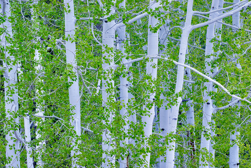 Aspen trees with new spring growth. Bryce National Park, Utah