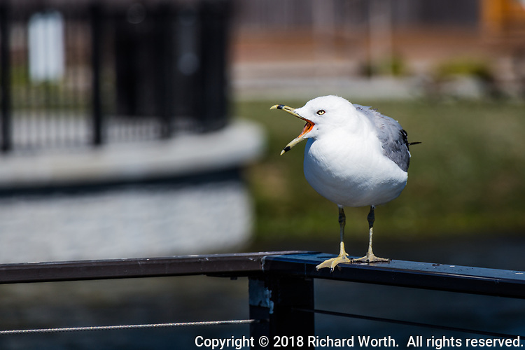 With a wide-open bill and stern yellow eye, a ring-billed gull stands and squawks on the railing at an urban park.  Image includes copy space for graphic design use.