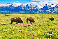 Bison grazing in green pastures filled with wildflowers, the Canadian Rockies in the background.