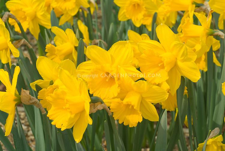 Narcissus Gigantic Star daffodils