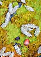Green and orange moss with pussy willow blossoms and acorn. Columbia River Gorge National Scenic Area, Washington