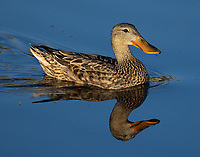 I was fortunate to see a number of waterfowl species during this year's visit to Market Lake.
