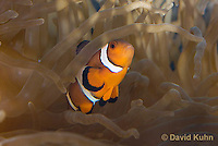 0321-1111  False Percula Clownfish (Ocellaris Clownfish), Amphiprion ocellaris, with Bulb-tipped Anemone, Entacmaea quadricolor  © David Kuhn/Dwight Kuhn Photography