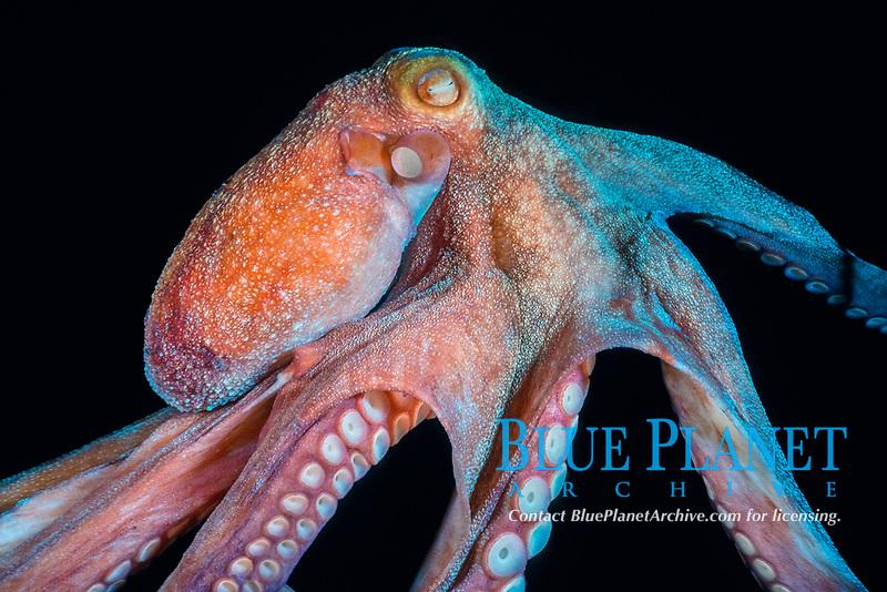 Caribbean reef octopus, Octopus briareus, Saba, Netherland Antilles, Caribbean, Atlantic Ocean