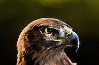 This Golden Eagle is one of many injured and orphaned raptors living at the Carolina Raptor Center in Huntersville, NC (Mecklenburg County). Through its mission of environmental stewardship and conservation, the Carolina Raptor Center helps birds of prey through rehabilitation, research and public education. The center is located at 6000 Sample Road, Huntersville, NC.