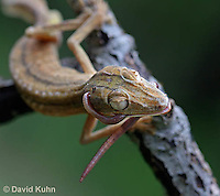 0505-0878  Lined Leaf-tailed Gecko Eating Worm, Uroplatus lineatus © David Kuhn/Dwight Kuhn Photography