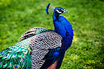 Colorful male peacock