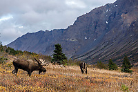 Fall Landscape of Bull and Cow moose grazing in meadow in Chugach State Park.  Anchorage, Alaska<br /> <br /> Photo by Jeff Schultz/SchultzPhoto.com  (C) 2018  ALL RIGHTS RESERVED<br /> <br /> David Young 2018 October Private Photo tour/workshop