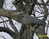 0116_07xx  Great Blue Heron - Ardea herodias © David Kuhn/Dwight Kuhn Photography