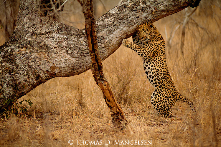 A leopard scratches its head on a nearby tree in Mala Mala, South Africa.