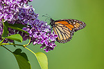 Monarch butterfly on a lilac bush in northern Wisconsin.