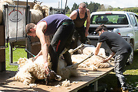 18-5-2021 Contractors shearing sheep in Rutland <br /> ©Tim Scrivener Photographer 07850 303986<br />      ....Covering Agriculture In The UK....