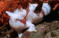 warty frogfish, clown frogfish, Antennarius maculatus, juvenile, Bali, Indonesa, Pacific Ocean