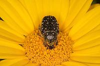 Trauer-Rosenkäfer, Trauerrosenkäfer, Trauer - Rosenkäfer, Oxythyrea funesta, Blütenbesuch, auf Blüte von Wucherblume, Blatthornkäfer, Scarabaeidae, rose chafer