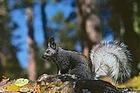 Kaibab Squirrel or tassel-eared squirrel (Sciurus aberti).  North Rim of Grand Canyon, Arizona.  Fall.