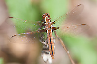 White Corporal (Ladona exusta) Dragonfly - Juvenile Female, Cranberry Lake Preserve, Westchester County, New York
