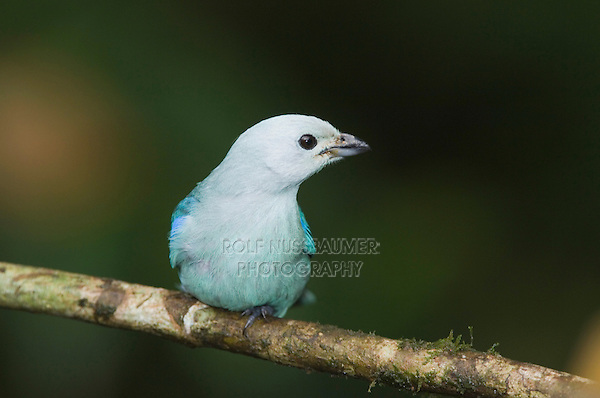 Blue-gray Tanager, Thraupis episcopus, adult perched, Central Valley, Costa Rica, Central America, December 2006