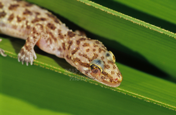 Mediterranean Gecko, Hemidactylus turcicus , adult on Palm Frond cleaning his eye with tongue, The Inn at Chachalaca Bend, Cameron County, Rio Grande Valley, Texas, USA