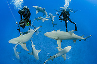 lemon shark, Negaprion brevirostris, and scuba divers, Jupiter, Florida, USA, Atlantic Ocean