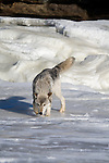 Lone wolf (Canis lupus) walking on the ice
