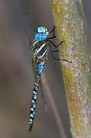 339360048 a wild male blue-eyed darner rhionaeschna multicolor perches on a tree limb near jean blanc road canal in  inyo county california