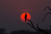 A Little Cormorant sits and watches the sun set in Tadoba Andhari Tiger Reserve, Maharashtra, India