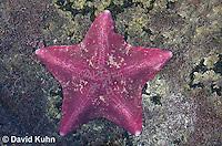 0520-1004  Purple Bat Star (Bat Starfish), Asterina miniata  © David Kuhn/Dwight Kuhn Photography