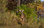 White-tailed buck in autumn.